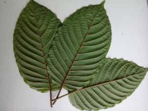 Green White and Red Vein Kratom