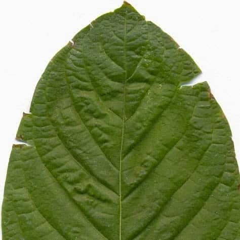 Mitragyna Speciosa Buy Seeds