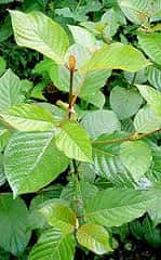 Mitragyna Javanica: A Popular Alterative Substitute for Kratom